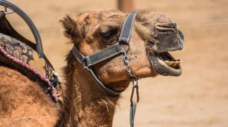 Губернатор Саратовской области подписал постановление о введении в селе Ивантеевка карантина вокруг территории частной компании после того, как там нашли бешенство у верблюда.