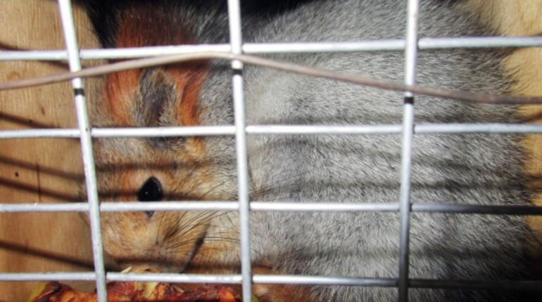Пятимесячные бельчата прошли ветеринарный контроль в аэропорте Пулково. Их заказал петербуржец, который разводит белок и выводит новые породы.