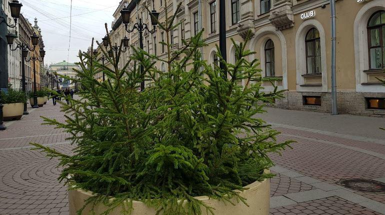 Перед новогодними праздниками на главных улицах Петербурга появятся композиции из ели.