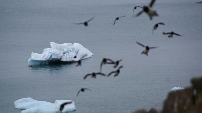 Арктические птицы могут исчезнуть из-за глобального потепления. Ученые считают, что пернатые оказались в экологической ловушке. Об этом сообщается в статье российских и зарубежных ученых в журнале Science.