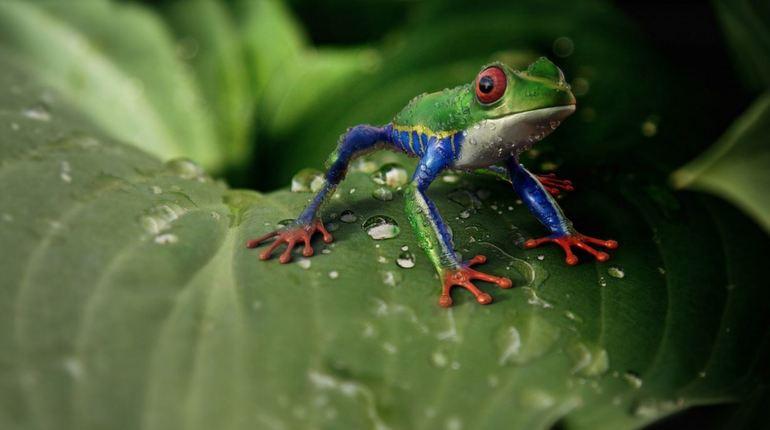Группа исследователей из Университета Тафтса в Соединенных Штатах смогла отрастить лягушке новые конечности с помощью гормональных препаратов. Ранее ее лапки были ампутированы.