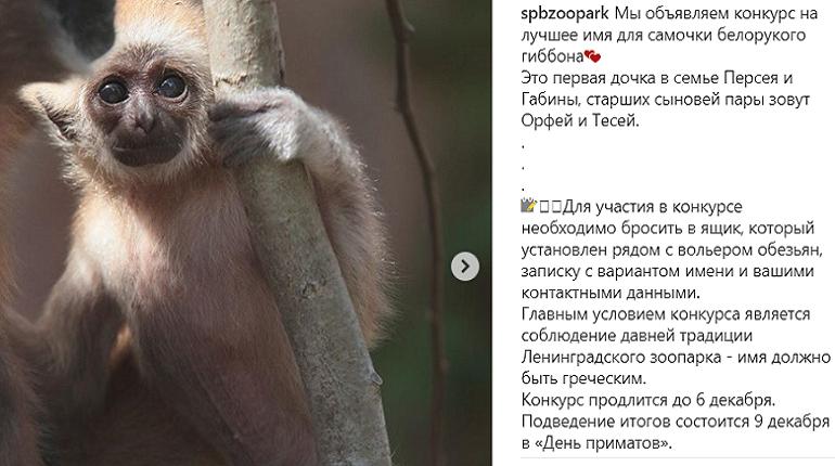 В Ленинградском зоопарке объявили конкурс на лучшее имя для самочки белорукого гиббона.