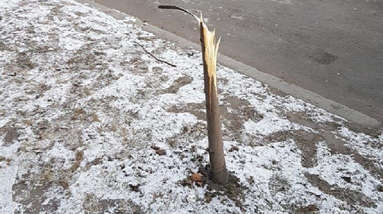 Десять молодых лип сломали неизвестные на улице Бабушкина на участке от улицы Полярников до Фарфоровой. Деревья посадили в 2013 году.