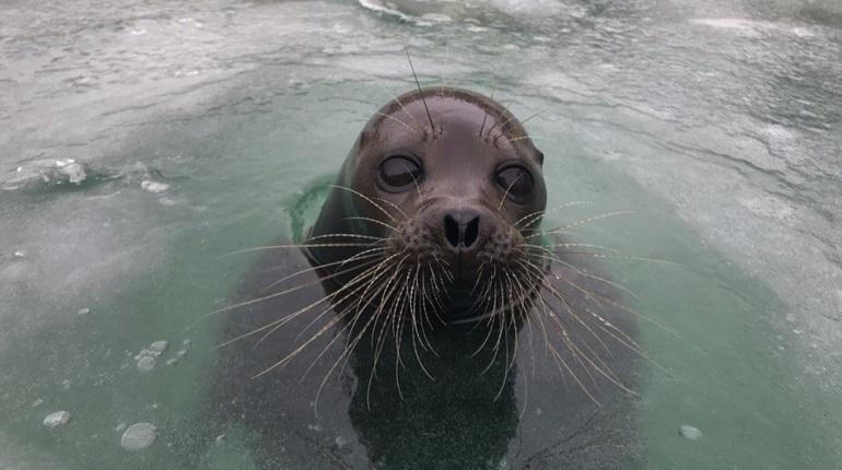 У тюленя Крошика в бассейне образовался лёд. Вызволять из ледяной ловушки его пришлось с помощью кувалды. Об этом сообщает сообщество