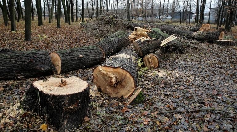 В Петербурге увеличат штраф за вырубку деревьев