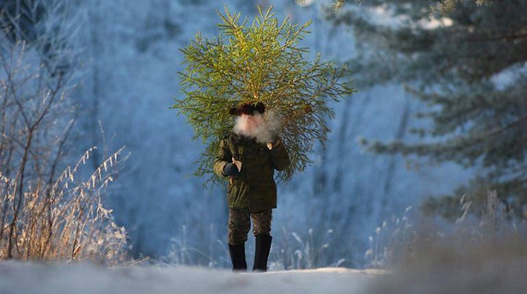 В Ленобласти начинается охота на бесплатные елки