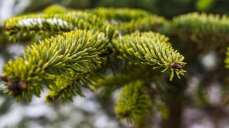 Где в Ленобласти бесплатно срубить елку