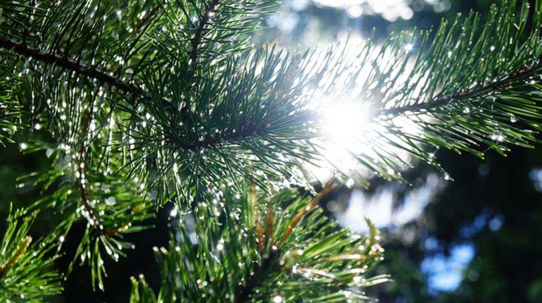 Петербуржцу грозит два года за срубленные в лесу ели
