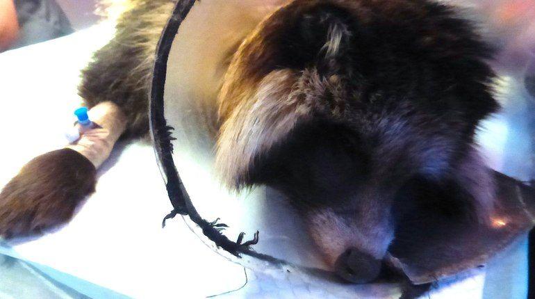 Покусанному собаками енотовидному Паше сняли швы